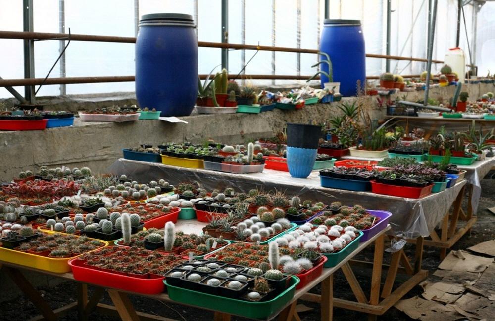 Бизнес по продаже кактусов