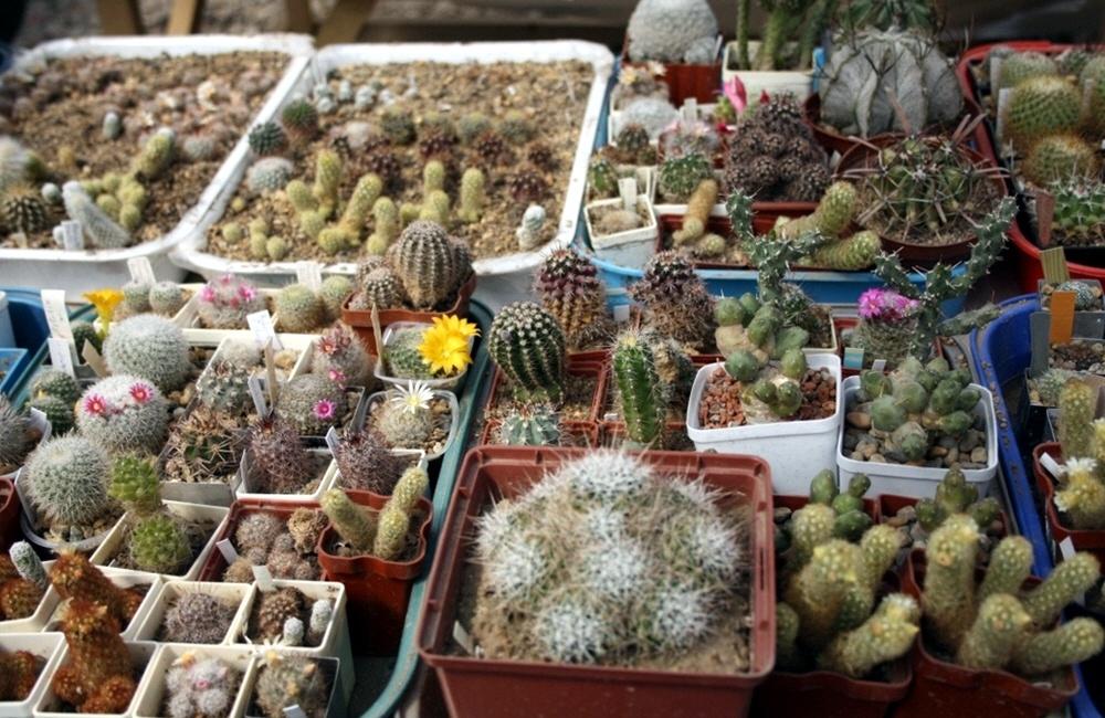 Выращивание кактусов на продажу